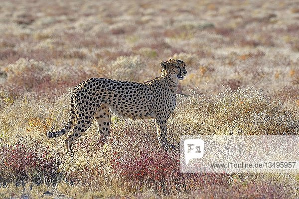 Gepard (Acinonyx jubatus)  Männchen steht im trockenen Grasland  bei Namutoni  Etosha-Nationalpark  Kunene-Region  Namibia  Afrika