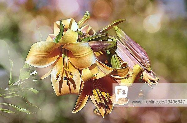 Lilie (Lilium)  Blüte  Detail  Deutschland  Europa