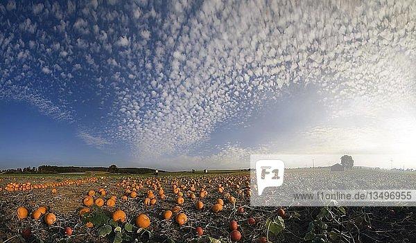 Geerntete Kürbisse auf einem Kürbisfeld mit Schäfchenwolken