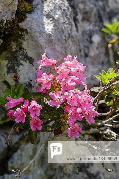 Rostrote Alpenrose (Rhododendron ferrugineum)  bayerische Alpen  Nationalpark Berchtesgaden  Bayern  Deutschland  Europa