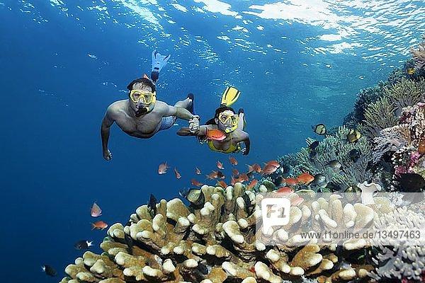 Paar  Schnorchler  taucht Hand in Hand über Korallenriff  betrachtet Fische  Fahnenbarsche (Anthiadinae) Riffbarsche  Großes Barriereriff  Pazific  Australien  Ozeanien