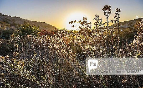 Blühende Pflanzen und Gräser stimmungsvoll im Gegenlicht  Sonnenuntergang  Crystal Cove State Park  Orange County  Kalifornien  USA  Nordamerika