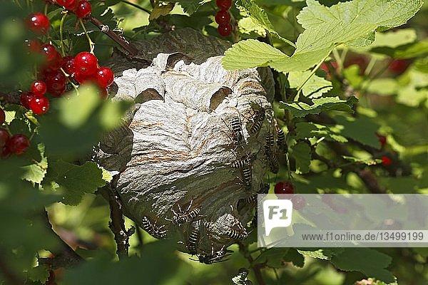 Wespennest (Vespula) in Roter Johannisbeere (Ribes rubrum)  Schleswig-Holstein  Deutschland  Europa