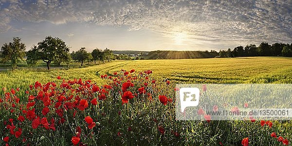 Klatschmohn (Papaver rhoeas) im Gerstenfeld bei Sonnenuntergang  Pietenfeld  Altmühltal  Bayern  Deutschland  Europa