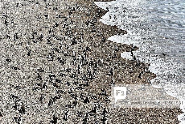 Magellan-Pinguins (Spheniscus magellanicus)  Pinguinkolonie Punta Tombo bei Pininsula Valdez  Patagonien  Ostküste  Atlantischer Ozean  Argentinien  Südamerika
