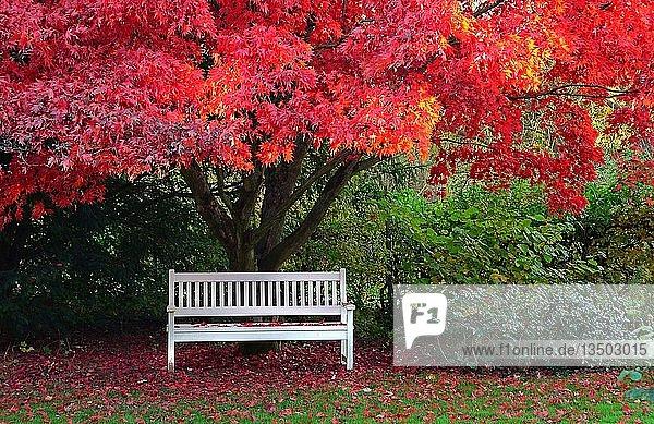 Weiße Holzbank unter japanischem Ahorn (Acer japonicum) mit rotem Herbstlaub  Schleswig-Holstein  Deutschland  Europa