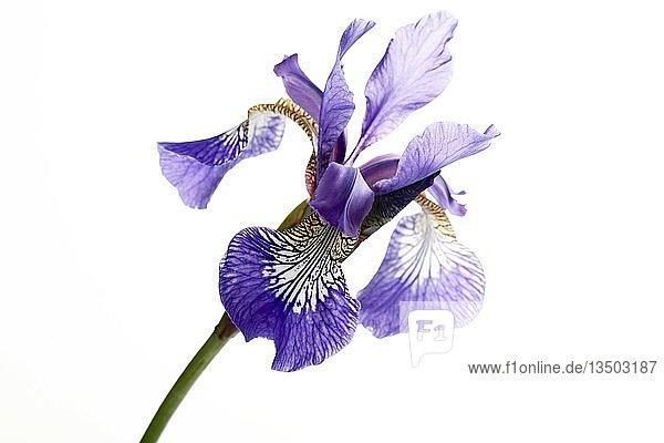 Lilie (Lilium)  Blüte