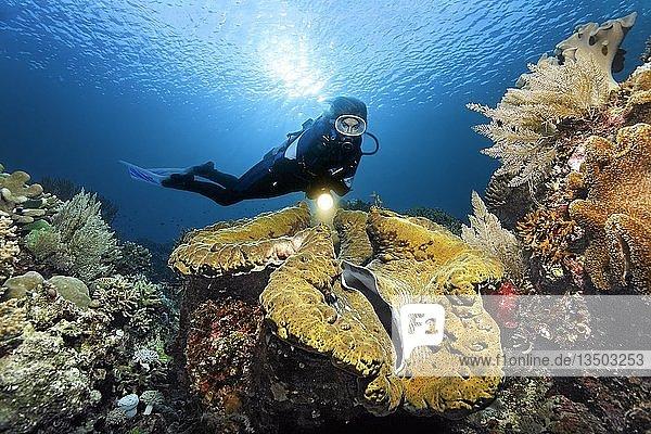 Taucher mit Lampe betrachtet Riesenmuschel (Tridacna gigas)  Gegenlicht  Sonne  Pazifik  Queensland  Australien  Ozeanien