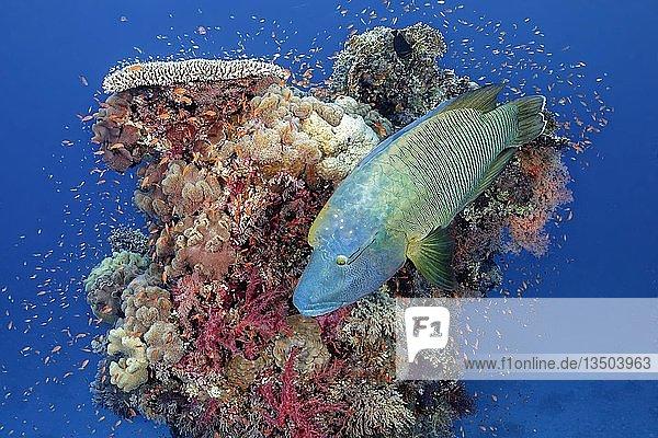Ausgewachsener Napoleon Lippfisch (Cheilinus undulatus) schwimmt über Korallenturm  Rotes Meer  Ägypten  Afrika