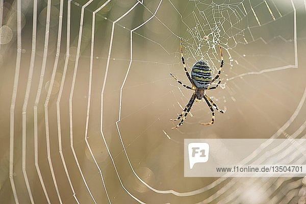 Wespenspinne (Argiope bruennichi),  im Spinnennetz,  Emsland,  Niedersachsen,  Deutschland,  Europa