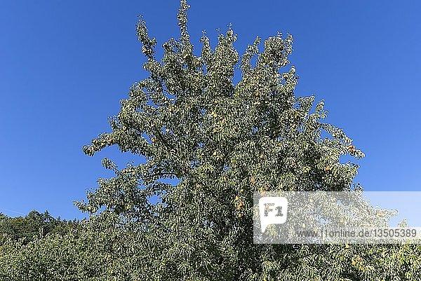 Birnbaum (Pyrus) mit reifen Birnen  blauer Himmel  Bayern  Deutschland  Europa