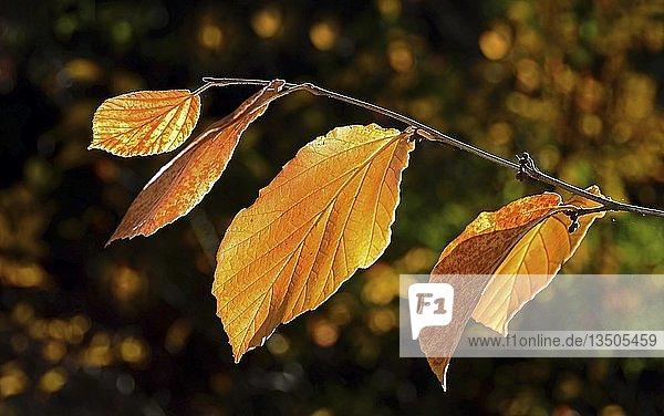 Zweig mit gelben Buchenblättern (Fagus) im Herbst  Schleswig-Holstein  Deutschland  Europa
