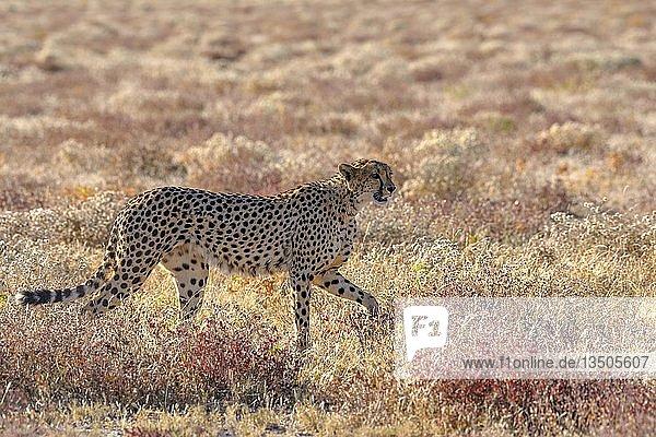 Gepard (Acinonyx jubatus)  Männchen läuft im trockenen Grasland  bei Namutoni  Etosha-Nationalpark  Kunene-Region  Namibia  Afrika