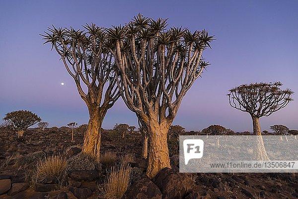 Köcherbaumwald (Aloe dichotoma) bei Sonnenuntergang  Ketmanshoop  Namibia  Afrika