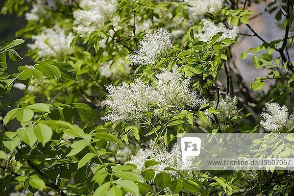 Blühende Manna-Esche (Fraxinus ornus)  Albanien  Europa