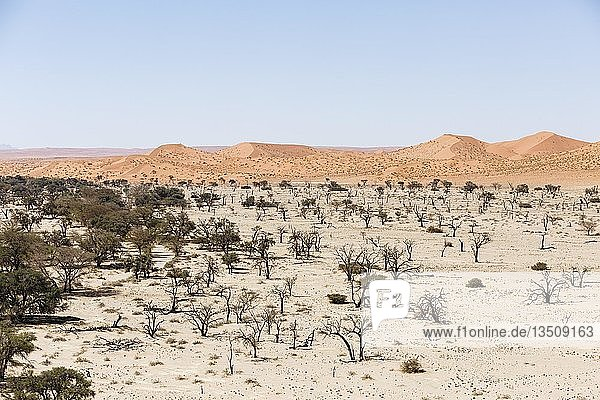Luftaufnahme  Kameldornbäume (Acacia erioloba) im Tsondab Trockenfluss  Namib-Wüste  Namib-Naukluft-Nationalpark  Namibia  Afrika