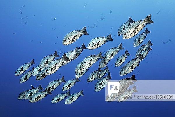 Schwarm Schwarz-Weiß Schnapper oder Schwarzer Schnapper (Macolor niger) schwimmt im offenen Meer,  Großes Barriereriff,  Pazifik,  Australien,  Ozeanien