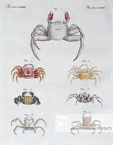 Verschiedene Krabben  handkolorierter Kupferstich aus Friedrich Justin Bertuch Bilderbuch für Kinder  1813  Weimar  Deutschland  Europa