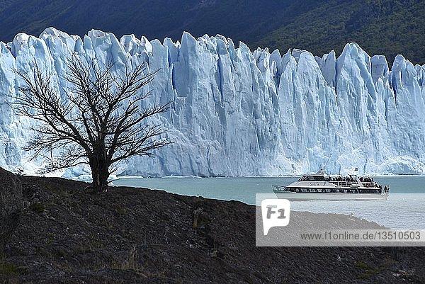 Tree and excursion ship in front of Glacier Perito Moreno on Lake Argentino  Parque Nacional Los Glaciares  Patagonia  Argentina  South America