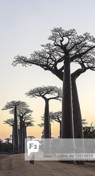 Mädchen bei Sonnenaufgang vor Baobab-Bäume (Adansonia grandidieri)  Avenue of the Baobabs  Morondava  Madagaskar  Afrika
