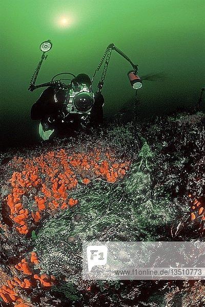 Taucher fotografiert einen Seeteufel (Lophius piscatorius)  der zwischen Weichkorallen liegt  Tote Meerhand (Alcyonium digitatum)  Hordaland  Norwegen  Europa