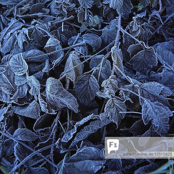 Laub bedeckt mit Frost  Hintergrundbild