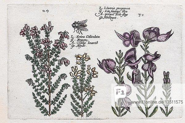 Heidekraut (Calluna vulgaris)  Handkolorierter Kupferstich aus dem Hortus Floridus  Crispyn van de Passé  1614  Deutschland  Europa