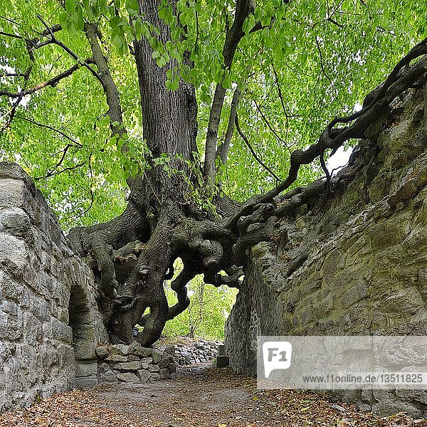 Old linden tree growing on the walls of a castle ruin  roots forming a gate  Lauenburg  Harz  Saxony-Anhalt  Germany  Europe Old linden tree growing on the walls of a castle ruin, roots forming a gate, Lauenburg, Harz, Saxony-Anhalt, Germany, Europe