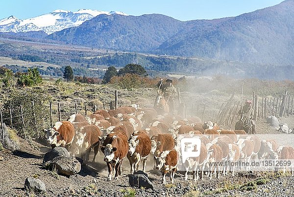 Gauchos on horseback at the cattle drive  Lanin National Park  Patagonia  Argentina  South America