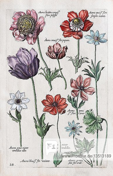 Windröschen (Anemone)  Handkolorierter Kupferstich  Johann Theodor de Bry  aus Florilegium Novum  1611  Deutschland  Europa