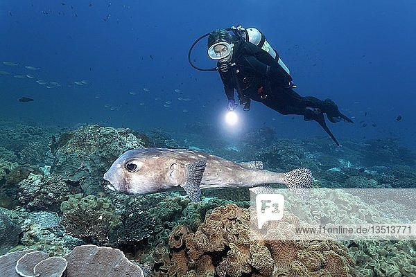 Taucher beobachtet Braunrücken-Igelfisch (Chilomycterus reticulatus) im Korallenriff  Daymaniyat Inseln Naturreservat  Khawr Suwasi  Al-Batina Provinz  Indischer Ozean  Sultanat von Oman