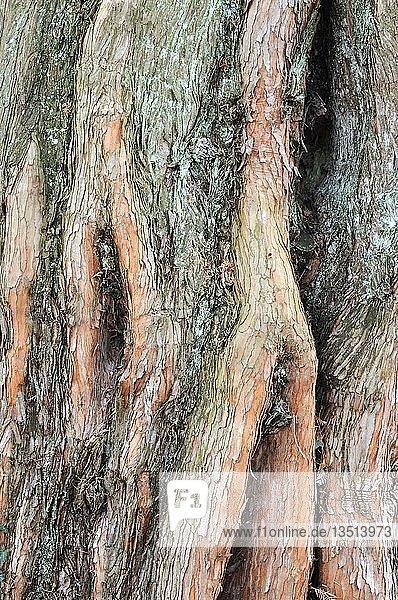 Baumborke einer Metasequoie  auch Wassertanne  Urweltmammutbaum  Chinesisches Rotholz (Metasequoia glyptostroboides)