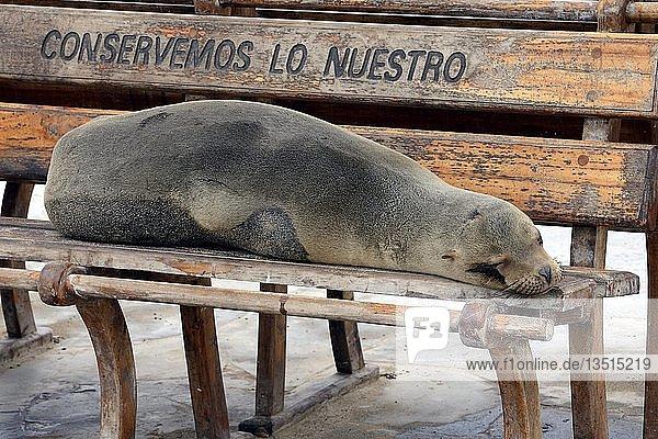 Galapagos-Seelöwe (Zalophus wollebaeki) liegt auf einer Sitzbank in Puerto Baquerizo Moreno  Insel San Cristobal  Galapagos  Unesco Weltnaturerbe  Ecuador  Südamerika