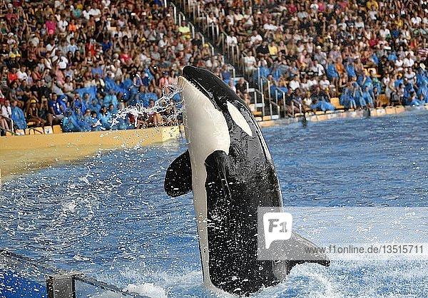 Schwertwal (Orcinus orca) im Sprung  captive  Orca-Show  Loro Parque  Puerto de la Cruz  Teneriffa  Kanarische Inseln  Spanien  Europa