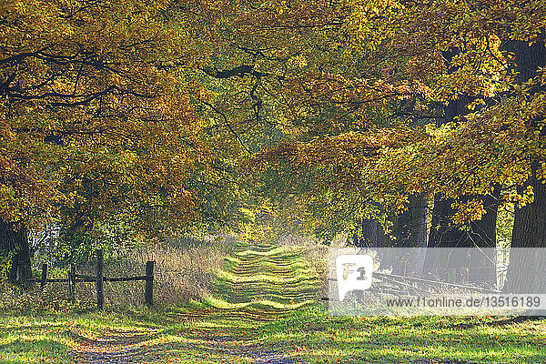 Tree-lined avenue in autumn with old Oaks (Quercus)  Hesse  Germany  Europe