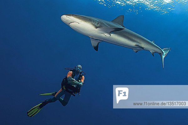 Diver observing a Caribbean reef shark (Carcharhinus perezi) in blue water  Jardines de la Reina  Cuba  Central America