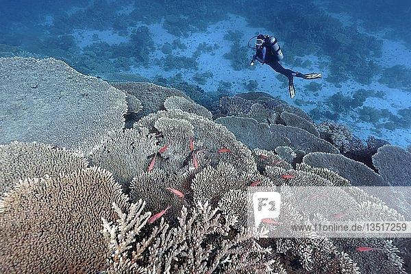 Taucher betrachtet Korallenriff mit Treppen-Steinkorallen  Kleinpolypige Steinkoralle (Acropora robusta) und Weißsaum-Soldatenfische (Myripristis murdjan)  Rotes Meer  Ägypten  Afrika