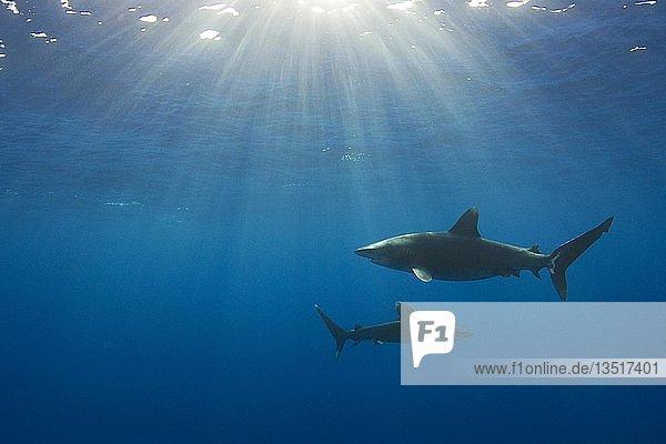 Two Oceanic whitetip sharks (Carcharhinus Longimanus)  Bahama Banks  Bahamas  Central America