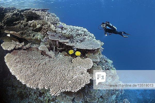 Taucherin betrachtet Korallenriff-Abfall mit Kleinpolypiger Steinkoralle (Acropora robusta)  Paar Maskenfalterfisch (Chaetodon semilarvatus)  Rotes Meer  Ägypten  Afrika