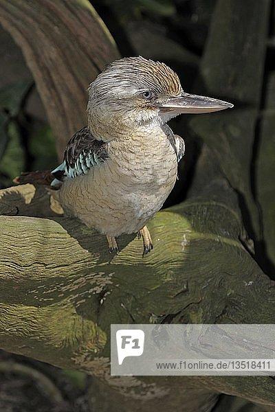 Blauflügelkookaburra  Lachender Hans (Dacelo leachii)  selten  Queensland  Australien  Ozeanien