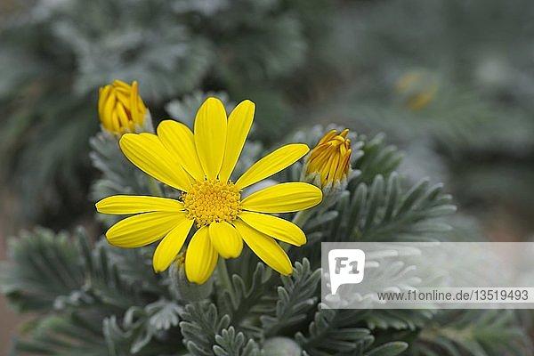 Kammförmiger Euryops (Euryops pectinatus)  Blüte