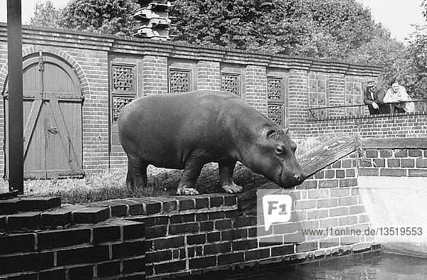 Besuch im Zoo  Nilpferd  1958  Leipzig  Sachsen  DDR  Deutschland  Europa