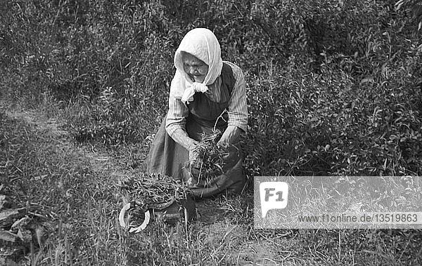 Alte Frau sucht Kräuter am Wegesrand  1948  nahe Leipzig  Sachsen  DDR  Deutschland  Europa