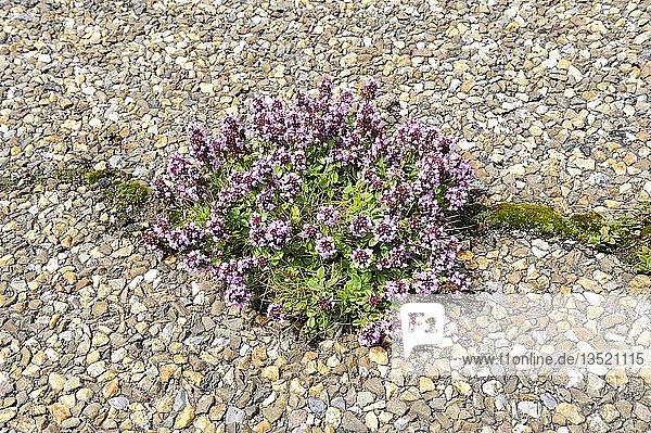 Feld-Thymian (Thymus pulegioides) wächst aus einem Riss von einer Asphaltstraße  Deutschland  Europa