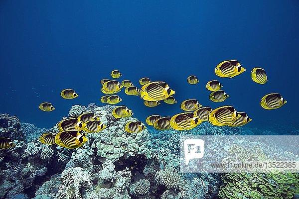 Eine Schwarm Tabak-Falterfische (Chaetodon fasciatus) schwimmt über ein Korallenriff  Sinai  Ägypten  Afrika