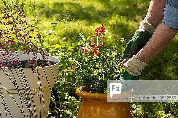 Symbolbild Gartenarbeit  Frau pflanzt Pflanzen in Töpfe  Frankreich  Europa