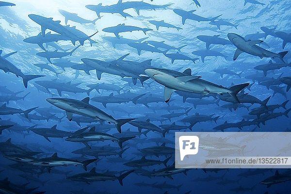 Swarm Silky sharks (Carcharhinus falciformis)  Malpelo  Colombia  South America