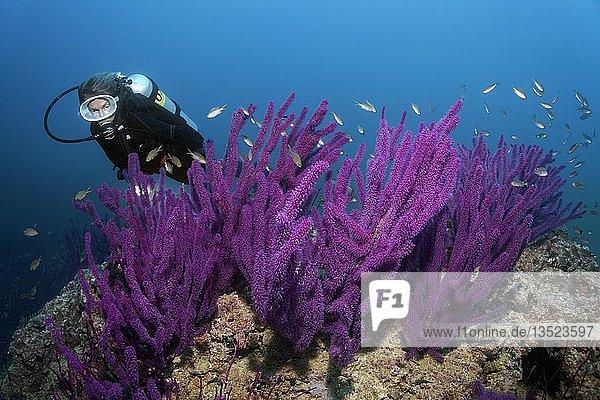 Taucher betrachtet Purpurrote Katzenschwanz-Koralle oder Rutengorgonie (Ellisella sp.)  Daymaniyat Inseln Naturreservat  Khawr Suwasi  Al-Batina Provinz  Indischer Ozean  Sultanat von Oman