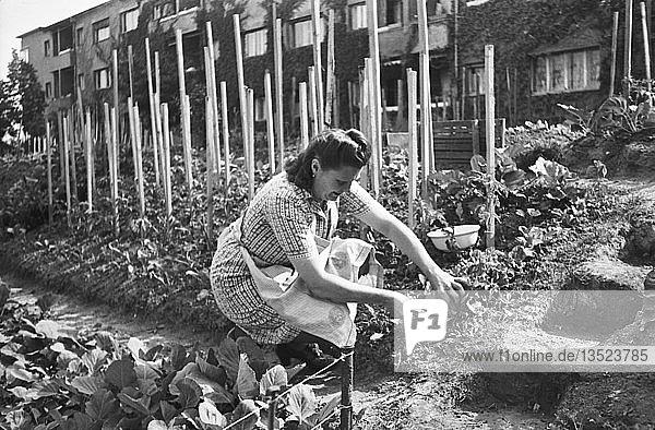 Frau arbeitet im Garten mitten in der Stadt  1947  Krochsiedlung  Leipzig  Sachsen  DDR  Deutschland  Europa