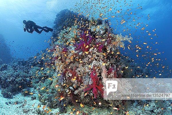 Taucher an Korallenriff  Riffabfall dicht bewachsen mit vielen verschiedenen Weichkorallen (Alcyonacea)  Steinkorallen (Scleractinia) und Fahnenbarsche (Anthiinae)  Rotes Meer  Ägypten  Afrika